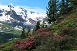 Alpenrosen im Martelltal