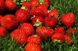 Erdbeeren in Martell in Südtirol
