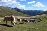 Haflinger Pferde am Penserjoch