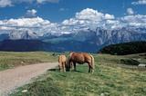 Haflinger Pferde am Rittnerhorn