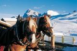 Haflinger Pferdegespann auf der Seiseralm (2000m)