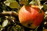 Südtiroler Apfel