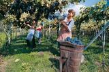 Weinernte in Südtirol